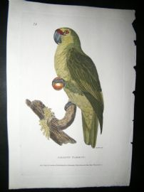 Shaw C1800's Antique Hand Col Bird Print. Amazon Parrot